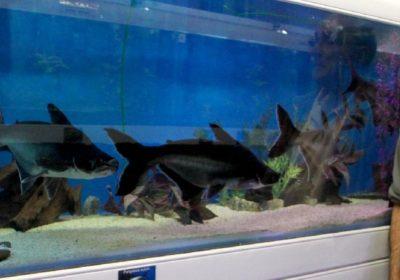president de l'aquario club pose devant un bassin de poisson