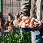 Farmer holding fresh organic eggs